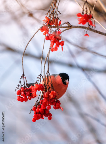 Canvas-taulu red bullfinch on the twig