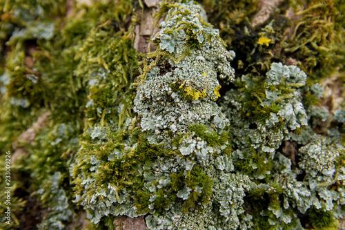 Fotografia, Obraz  Mousse et lichens sur écorce sur tronc d'arbre