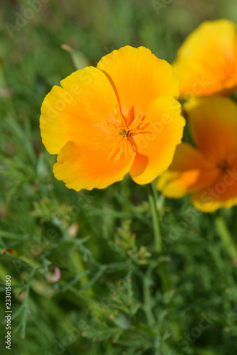 Fotografie, Obraz  Golden poppy flower