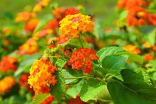 Lantana Flowers In The Garden
