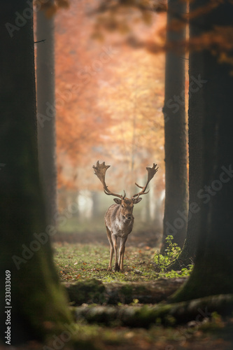 Poster Cerf Deer in misty Autumn Forest