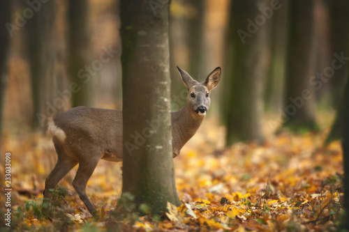 Deurstickers Ree European Roe Deer hiding in autumnal Forest