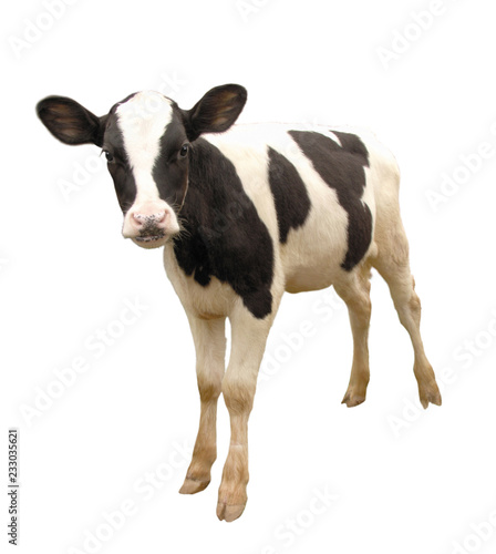 Calf, 8 months old, in front of white background Canvas