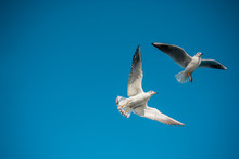 Pair Of Seagulls Flying In Blue A Sky