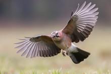 Birds - Jay (Garrulus Glandari...