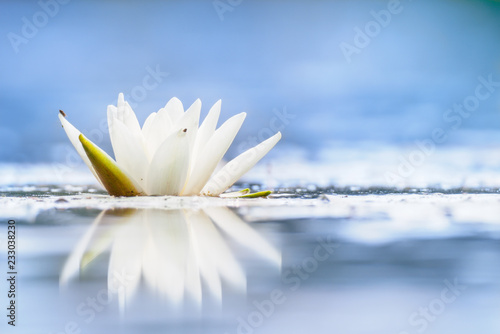 Poster Waterlelies Nymphaea alba, also known as the European white water lily, white water rose or white nenuphar.