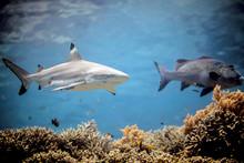 Beautiful Black Tip Reef Shark...