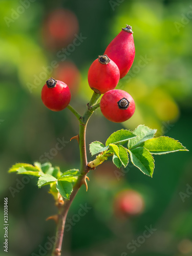 Photo  Rosa canina, commonly known as the dog rose.