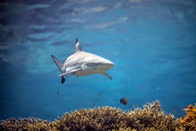 Beautiful Black Tip Reef Shark From Indonesia