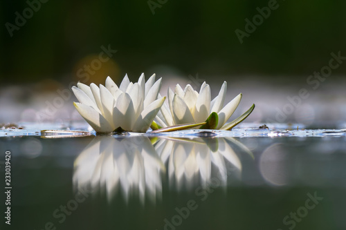 Wall Murals Water lilies Nymphaea alba, also known as the European white water lily, white water rose or white nenuphar.