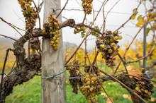 Closeup Of Rotten Grapes In An Autumnal Vineyard - Wachau Austria