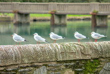 Five Black-Headed Gulls On A Wall By A River