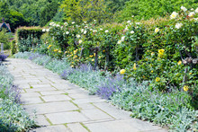 Colourful Secluded Garden In Bloom, With White And Yellow Roses, Purple Catnip Growing Around A Stone Path