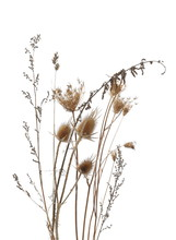 Dry Burdock And Grass Field, Thistle Isolated On White Background With Clipping Path