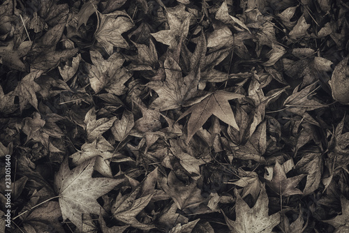 Monochromatic image of japanese maple autumnal dry leaves on ground