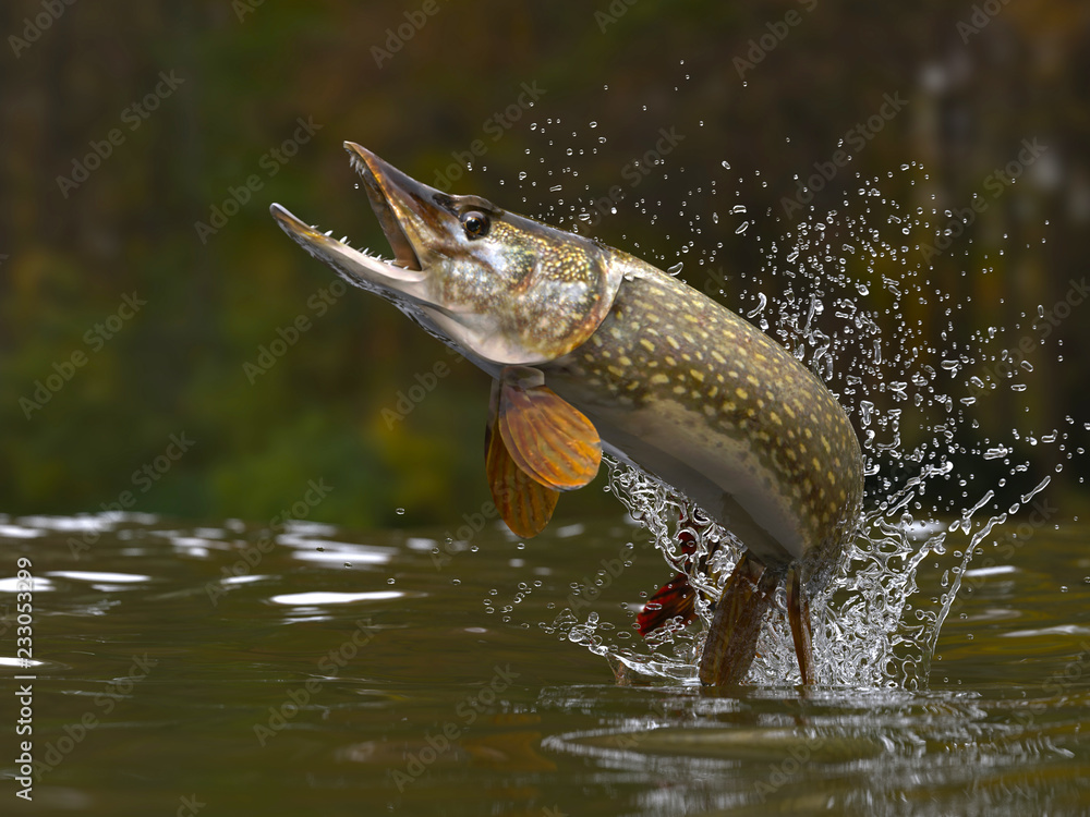 Fototapeta Northern pike fish jumping out of lake or river with splashes 3d render