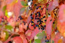 Virginia Creeper (Parthenocissus Quinquefolia) In Autumn Season, Close-up
