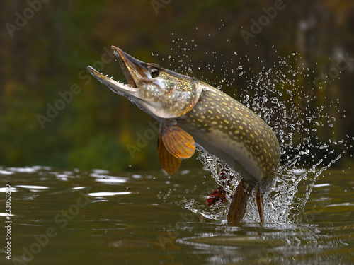 Fotografiet Northern pike fish jumping out of lake or river with splashes 3d render