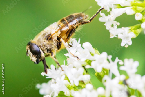 Foto op Canvas Macrofotografie Biene auf weißer Blüte, Makro
