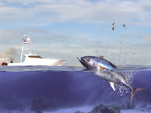 Cathing Tuna Fish, Fisherman I...