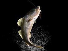 Cathing Of Cod Fish In Black B...