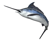 Gorgeous Sailfin Swordfish Right Side View Of Marlin Fish 3d Render