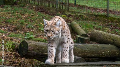 Lynx in national park #233056256