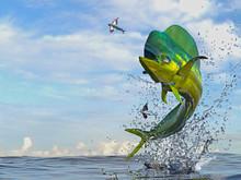 Mahi Mahi Dorado Fish  Jumping...
