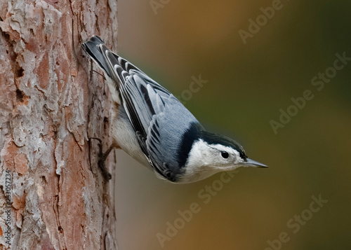 Fotomural White-breasted Nuthatch (Sitta carolinensis) perched on a red pine tree