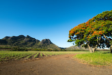 Flame Tree From Mauritius With...