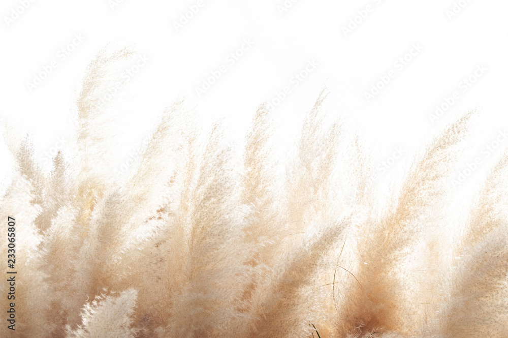 Fototapety, obrazy: Abstract natural background of soft plants (Cortaderia selloana) moving in the wind. Bright and clear scene of plants similar to feather dusters.