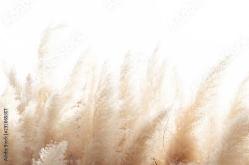 Fotografiet  Abstract natural background of soft plants (Cortaderia selloana) moving in the wind