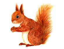 Squirrel. Watercolor Illustrat...