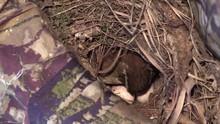 Bird Carolina Wren Mother Rota...