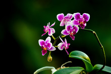 Orchids - Dark Pink And White ...