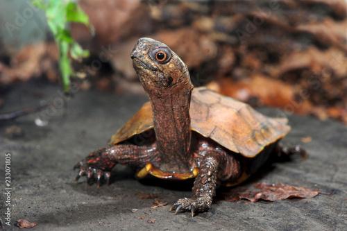 Chinesische Zacken-Erdschildkröte (Geoemyda spengleri) - Black-breasted leaf turtle