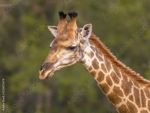 Giraffe standing in soft afternoon light