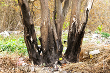Garbage Around A Burned Tree, Pollution, Ecology Of The Planet