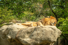 Lion Sleeping On The Rock