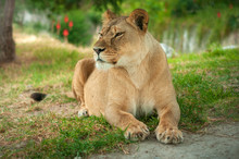 Lion Resting On The Grassy Gro...