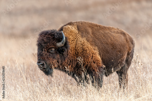 Poster Bison American Bison