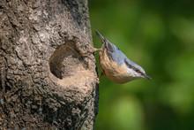 The Wood Nuthatch, Sitta Europ...