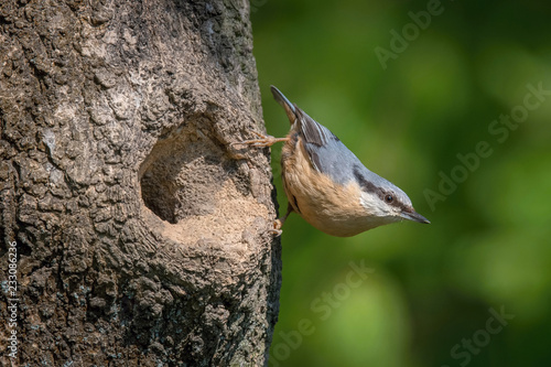Fotografía The Wood Nuthatch, Sitta europaea is sitting at the nesting cavity during the nesting season