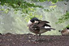 Snoozing Goose Taking A Nap Wi...