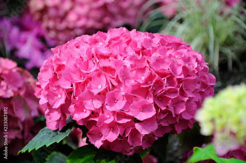 Beautiful pink hydrangea flowers, Frankfurt am Main, Hessen, Germany
