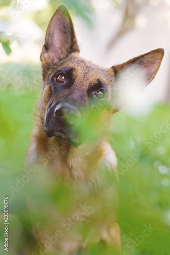 Fotografía  The portrait of an interested short-haired German Shepherd dog posing outdoors i