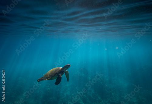 Tortue Hawaiian Green Sea Turtle Surfacing to Breathe