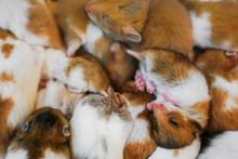 Selective Focus Cute Dwarf Hamster Sleeping