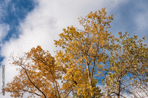 Fotografia  beautiful golden leaves on the tree under the blue sky on a bright cloudy day