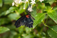 Butterfly With Black Wings With Red Dots Hanging On Tiny White Flowers In The Garden